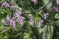 Silk Floss Tree From Subtropic...