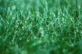 Silk grass in gentle drops of dew Royalty Free Stock Image