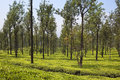 Silk oak trees and tea grevillea robusta providing shade for a green carpet of bushes in the landscape of wayanad south india Stock Photos