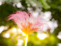 Silk tree flower and the sun light background Royalty Free Stock Photo