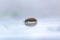 Silken Fungus Beetle Royalty Free Stock Photo