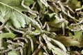 Silkworm eating mulberry green leaf close up Stock Image