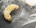 Silkworm before  metamorphosis Royalty Free Stock Image