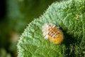 Silkworm moth caterpillar a sheds its skin while resting on the leaf of a squirting cucumber plant Stock Images
