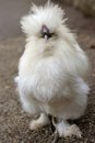 Silky fowl front face of a single white Stock Images