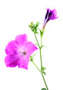 Silky morning glory beautiful shot of flower on white background Royalty Free Stock Photography