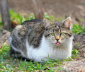 Silly cat funny looking wild lying on the grass Stock Photography