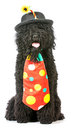 Silly dog barbet wearing clown costume on white background Royalty Free Stock Photo