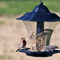 Silly House Finches Stock Photos