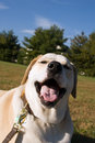 Silly labrador mixed breed dog Stock Images