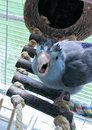 Spiky hair blue baby bird Royalty Free Stock Photo