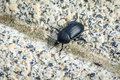 Silphidae carrion beetles Royalty Free Stock Photo