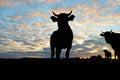 Silueta de vacas Imágenes de archivo libres de regalías