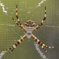 Silver argiope spider closeup argentata or ventral view Royalty Free Stock Image