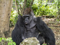 Silver back western lowland gorilla the is a subspecies of the that lives in montane Stock Photos