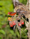 Silver-beaked Tanager with fruit Royalty Free Stock Images