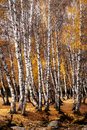 Silver birch Stock Photos
