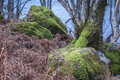Silver Birch trees amongst the bracken and moss covered boulders Royalty Free Stock Photo