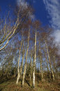 Silver birch trees may hill betula pendula Stock Images