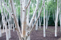 Silver birch trees. White woodland. Magical forest. Royalty Free Stock Photo