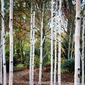 Silver birch trees Royalty Free Stock Photo