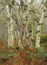 Silver Birch woodland Royalty Free Stock Images