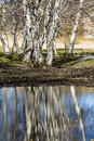 Silver birches and the inverted image on water Royalty Free Stock Photography