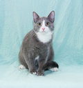 Silver blue cat with white muzzle and orange eyes sitting on pale green background Royalty Free Stock Photography