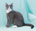 Silver blue cat with white muzzle and orange eyes sitting on pale green background Royalty Free Stock Images