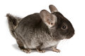 Silver chinchilla sitting on isolated white background Stock Image