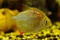 Silver color fish in aquarium Royalty Free Stock Photo
