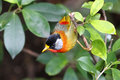 Silver eared measia on a branch tree Stock Photography