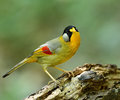 Silver eared mesia leiothrix argentauris the beautiful yellow bird with on its ears standing on log with nice green Stock Image