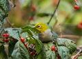 Silver Eyes Bird