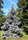 Silver fir Royalty Free Stock Photo