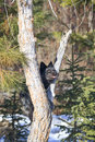 Silver fox climbing up tree