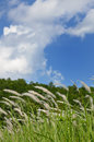 Silver grass under summer sky, Kyoto Japan. Royalty Free Stock Photo