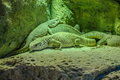 Silver gray lizzards in Loro Parque, Tenerife, Canary Islands. Royalty Free Stock Photo