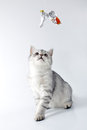 Silver gray white tabby  Scottish kitten playing Royalty Free Stock Photo