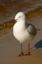 Silver gull the chroicocephalus novaehollandiae is the most common seen in australia it has been found throughout the Royalty Free Stock Images