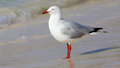 Silver gull the chroicocephalus novaehollandiae is the most common seen in australia it has been found throughout the Royalty Free Stock Photo