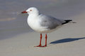 Silver gull the chroicocephalus novaehollandiae is the most common seen in australia it has been found throughout the Royalty Free Stock Photography
