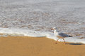 Silver Gull seabird walking along the beach in the afternoon Royalty Free Stock Photo