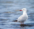 Silver gull standing in water a larus novaehollandiae shallow queensland australia Royalty Free Stock Photos