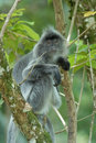 Silver Leaf Monkey Stock Images