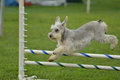Silver Miniature Schnauzer at a Dog Agility Trial Stock Photos