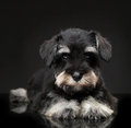Silver miniature schnauzer puppy on black background Royalty Free Stock Photo