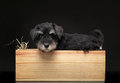 Silver miniature schnauzer puppy in wooden wine box Royalty Free Stock Photo