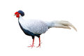 Silver Pheasant Royalty Free Stock Photography
