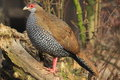 Silver pheasant the female of standing on the wood Stock Photos